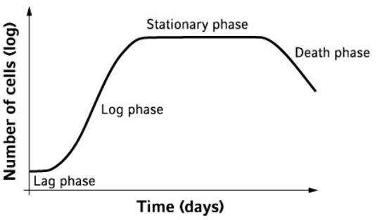 Cell growth curve and its 4 phases